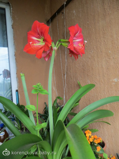 Цветок цветущей стрелкой