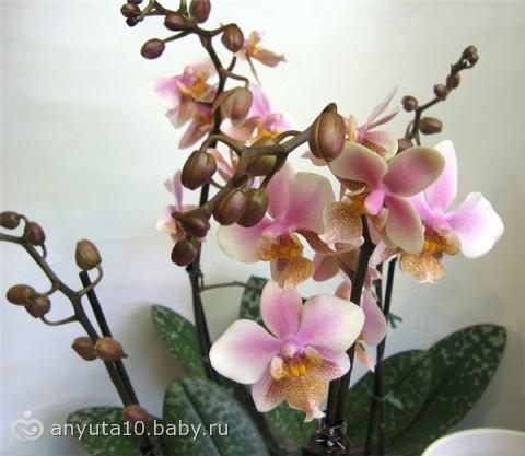 филадельфия фото орхидея