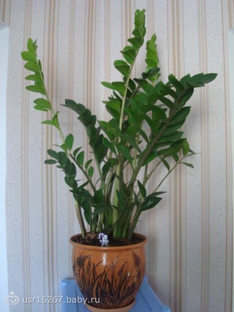 долларовое дерево замиокулькас