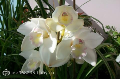 Орхидея цимбидиум.