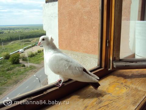 К нам сегодня голубь на балкон залетал.