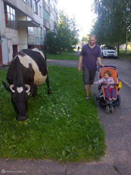 корова и эвог. ничего необычного